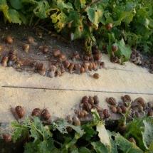 Pora karmienia ślimaków w zagrodzie