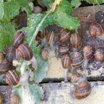 karmienie ślimaków w zagrodzie