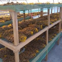 Zasuszanie ślimaków