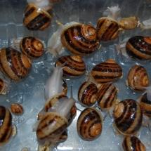 3-miesięczne ślimaki z kuwet