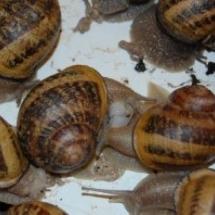 Rozmnażanie ślimaków
