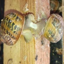 kopulujące ślimaki