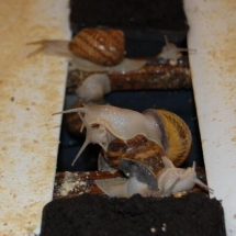 escape de caracois