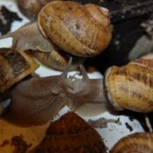 snails copulation