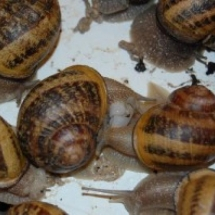 Reproduction des escargots