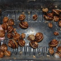 snail incubation
