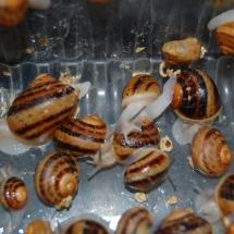 snail hatching