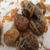 reproducción del caracol