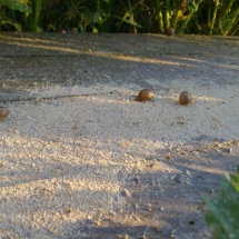 Feeding snails