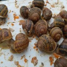 alimentan los caracoles