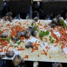 ganadería de caracoles