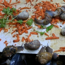 snail feed
