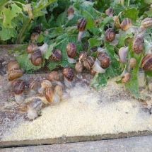 snails eating