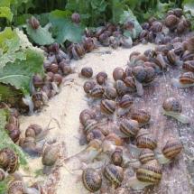 Hora de la alimentación de caracoles en el corral
