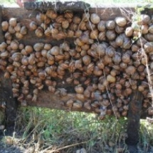 Escargot Maxima avant la récolte