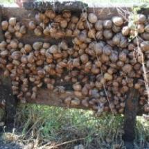 Schnecke Maxima vor der Ernte