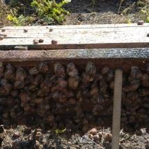 Caracol Mūller antes da colheita