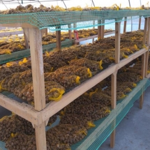 Purgado, secado y selección de los caracoles