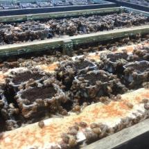 escargot reproducteurs