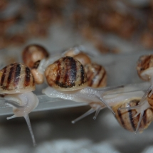 breeding helix aspersa snails