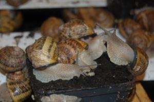 Concha de caracol dañada