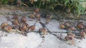 wzrost ślimaków