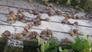 wielkość ślimaków