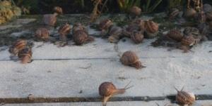 wywinięcie ślimaka